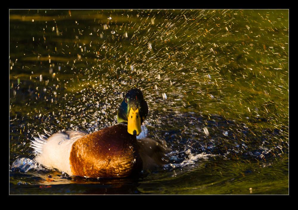 Ducks Take a Bath After a Busy Day | RobsBlogs